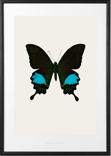 Papilio Paris gedeensis Butterfly